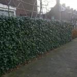 klimop haag van losse planten na twee seizoenen