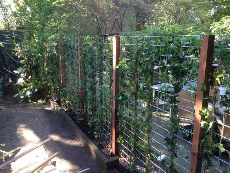 Klimop planten tegen schutting